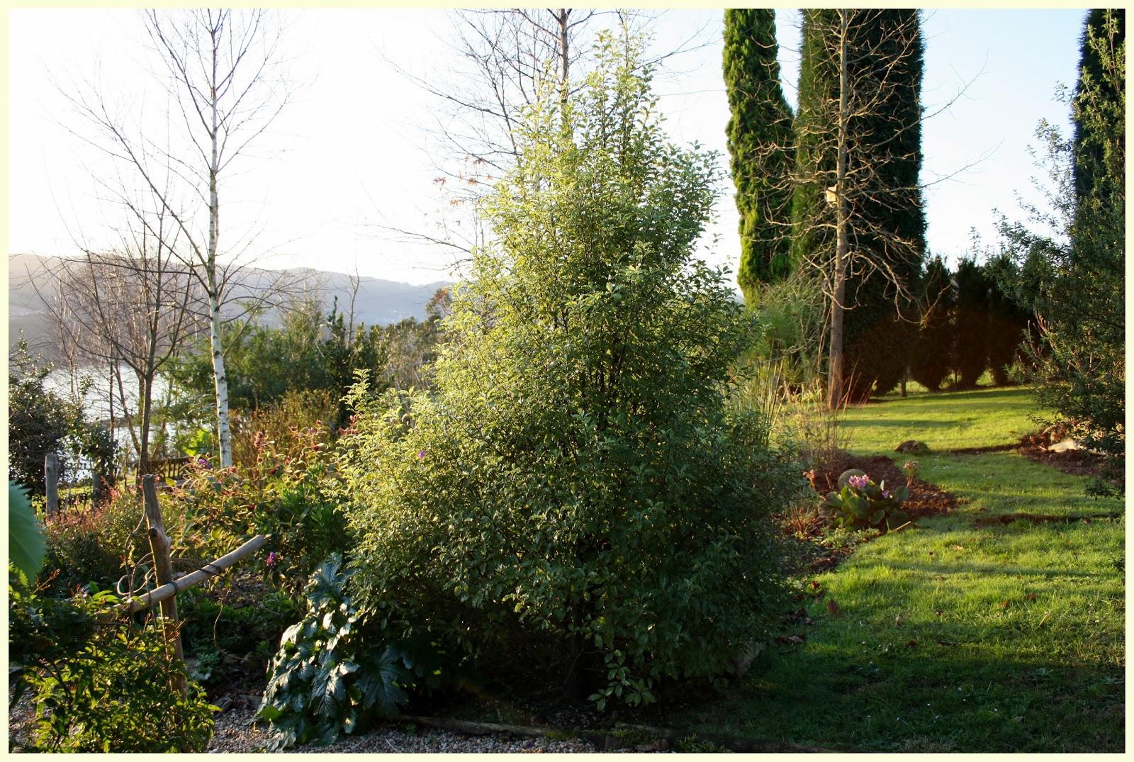 El jard n de margarita pittosporum tenuifolia y azara for Arboles frutales de hoja perenne