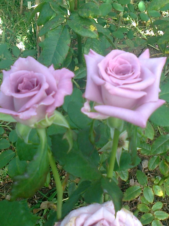 vivero de rosas hermanos acu a rosales producidos