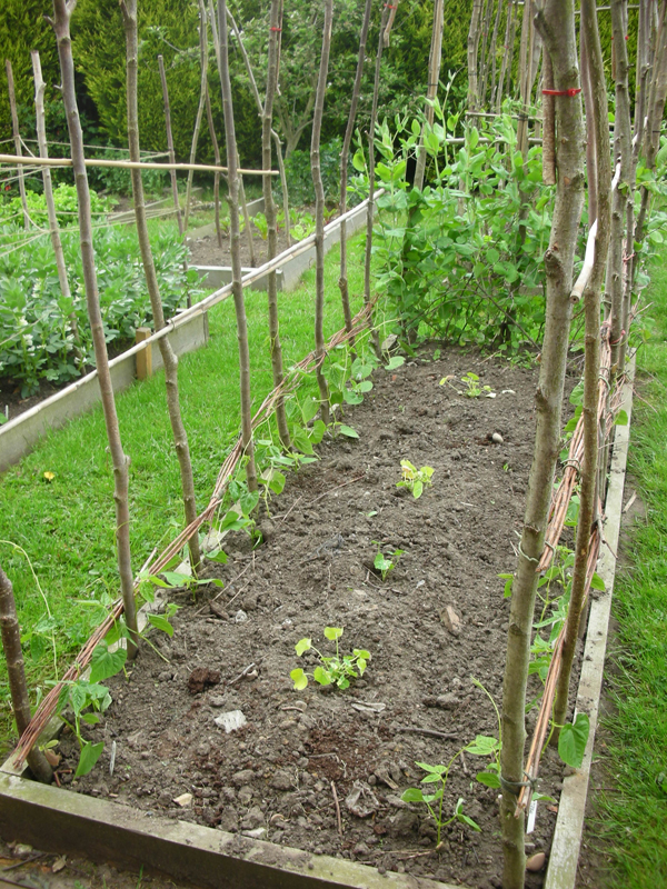 How to grow french beans from seed the garden of eaden for Indoor gardening green beans