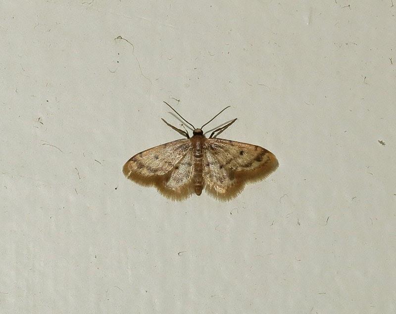 birdernaturalist: tucson moths in february