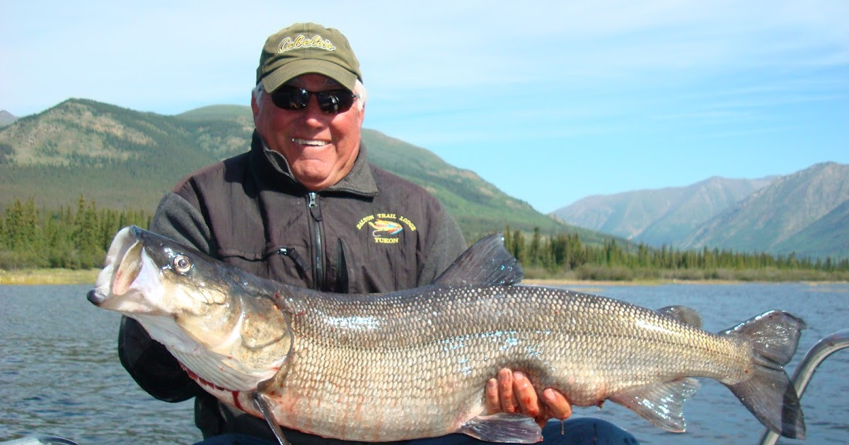 Big fishes of the world inconnu stenodus leucichthys for Fish in alaska