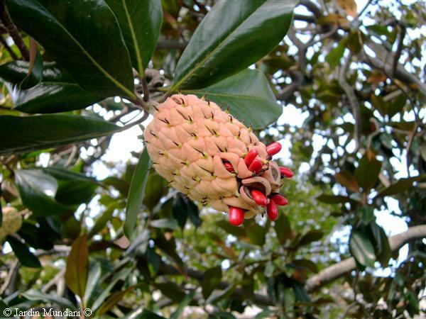 Sangrando en verde gen tica estructural la perpetuaci n - Semilla de magnolia ...