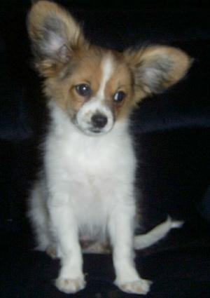 Cute Puppy Dogs Papillon Puppies