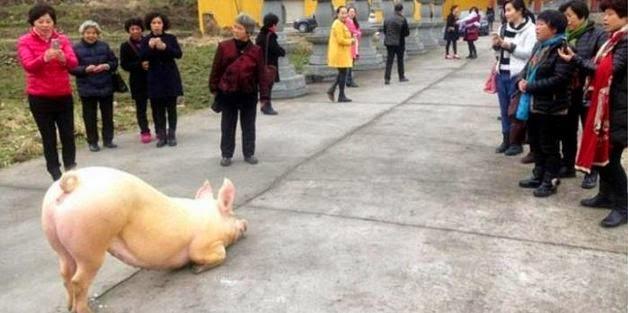 Babi Gemuk Sujud Depan Kuil Buddha Jadi Viral Di China