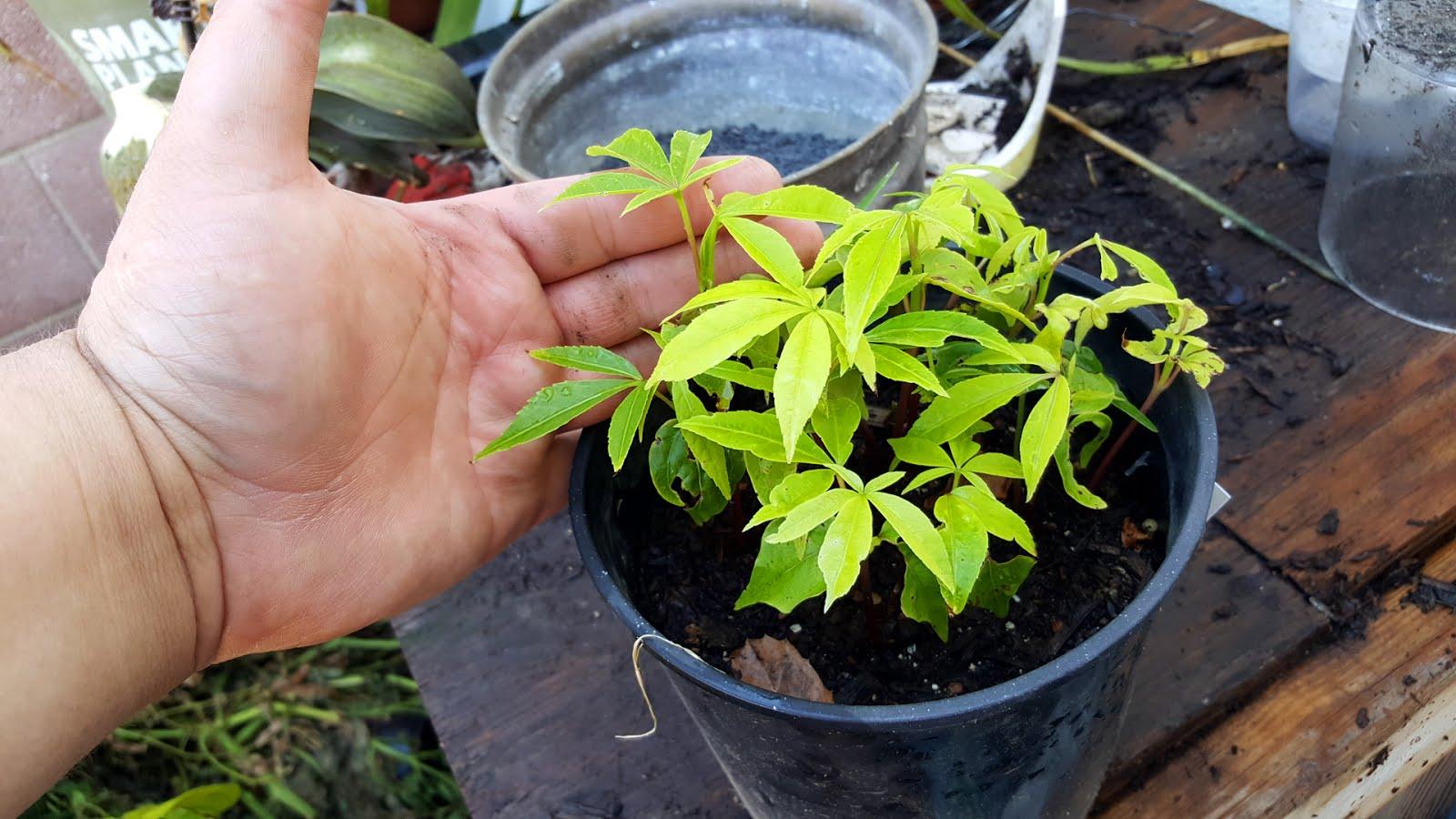 Bonsai Misadventures Kapok Ceiba Pentandra Separating Seedlings