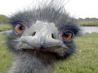 Le saviez-vous?La Grande Guerre des Émeus Envahisseur-emeu-guerre-des-dromiidae