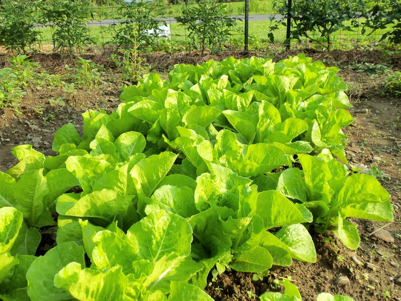 Romaine lettuce in my garden on Independence Day, 2013