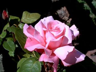 Belle Rose Du Printemps