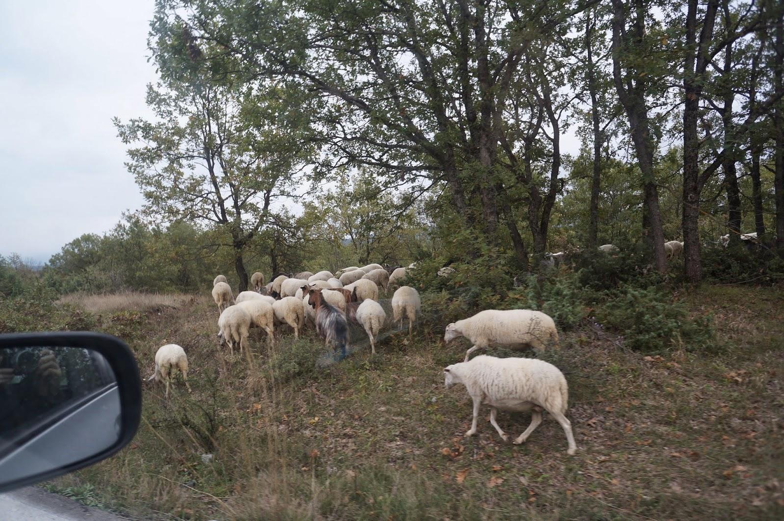 Овцы-на-Дороге