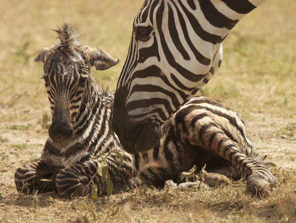 Newborn zebra
