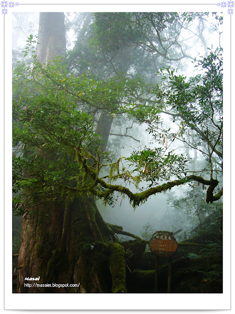北橫拉拉山-四號巨木