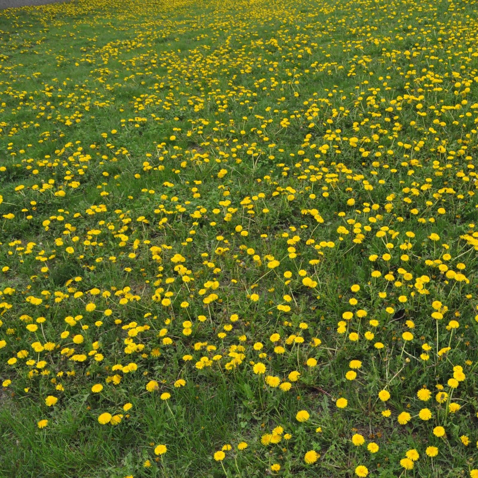 The Grass Rhizome My Weeds Wont Die