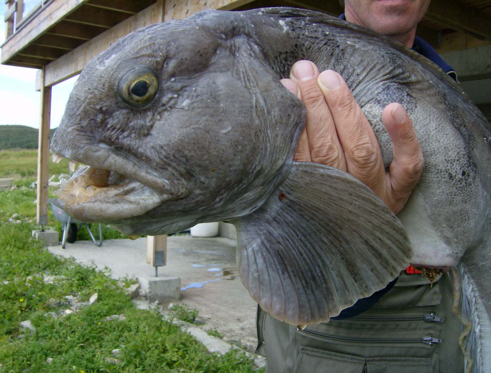 Big fishes of the world wolfish anarhichas lupus for The biggest fish