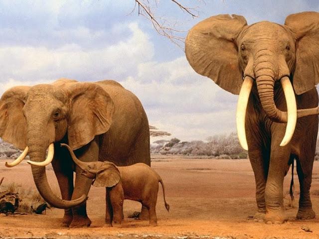"""<img src=""""http://4.bp.blogspot.com/-oOQN2uA9mPY/Uq8U2dn7h1I/AAAAAAAAFsI/E5IaI0fe_5o/s1600/33.jpeg"""" alt=""""elephant animal wallpapers"""" />"""