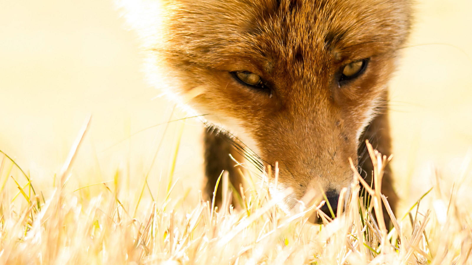 Fox as wallpaper for your desktop