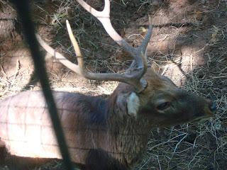 big deer in zoobic safari
