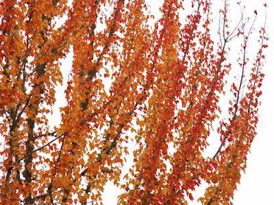fall colors on tree across the street photo by Jennifer Kistler