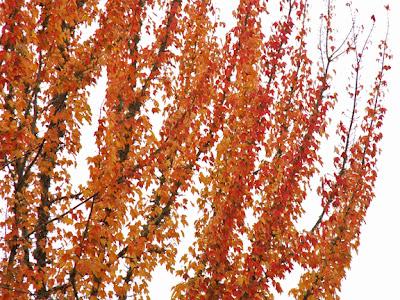 fall colors on tree across the street photo by Jennifer Kistler