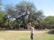 Casi 8000 años tiene el Algarrobo Abuelo que se encuentra en el fondo de la . img