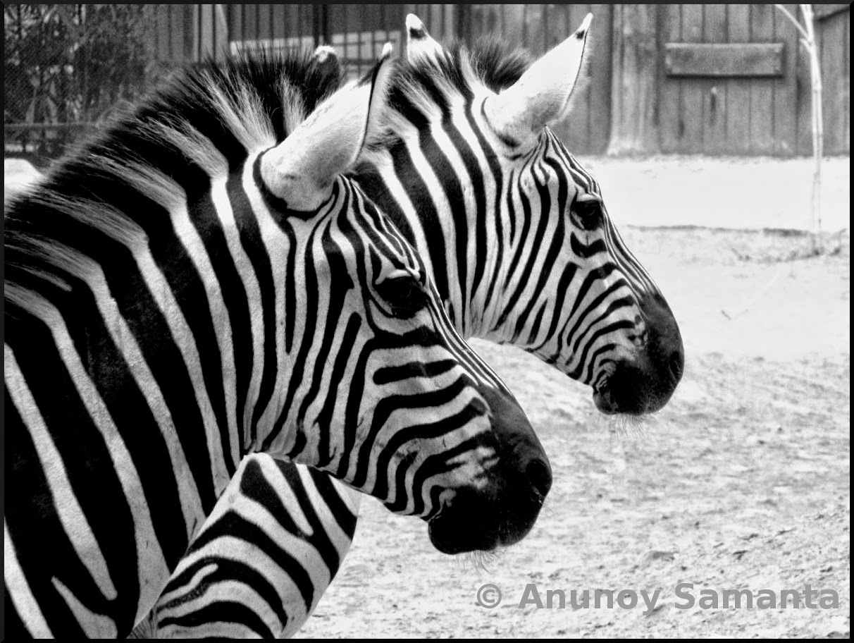 The Zebra Couple from Kolkata Zoo