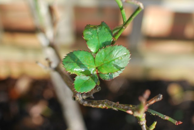 picture of new shoots on the rose