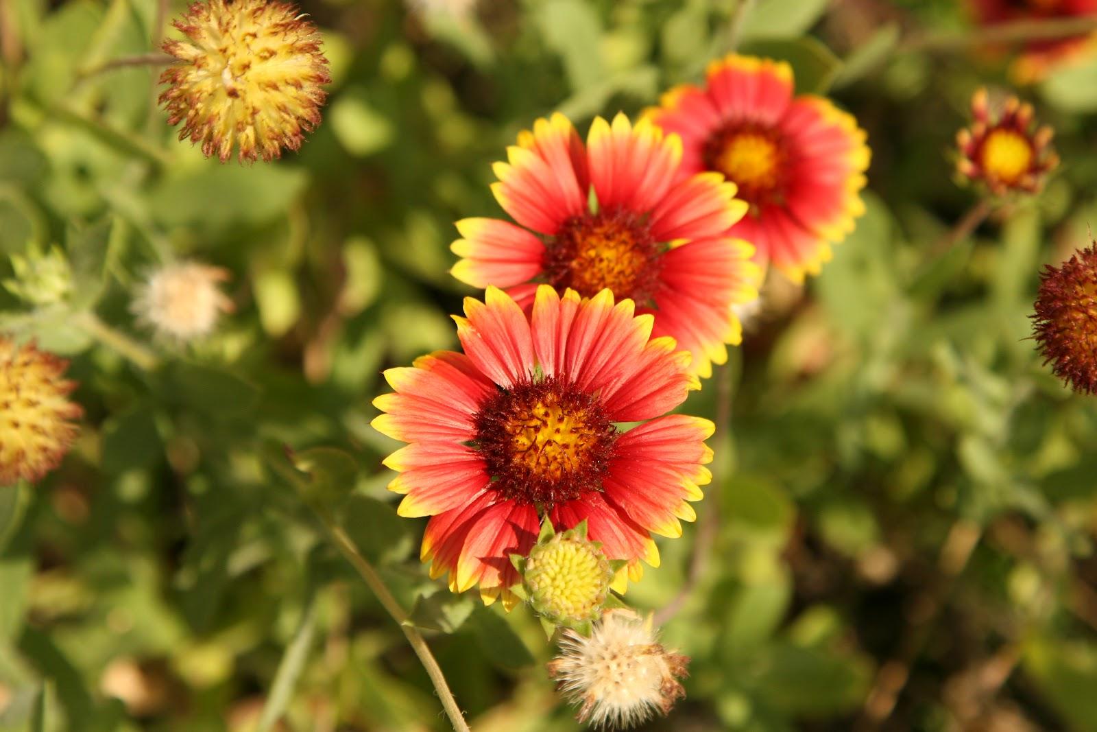 slides 35 37 gaillardia gaillardia spp sometimes called blanket flower usda hardiness zones 2 5