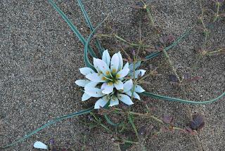 Fleur du désert, Maroc
