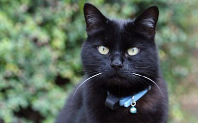 Black cat with collar and bell