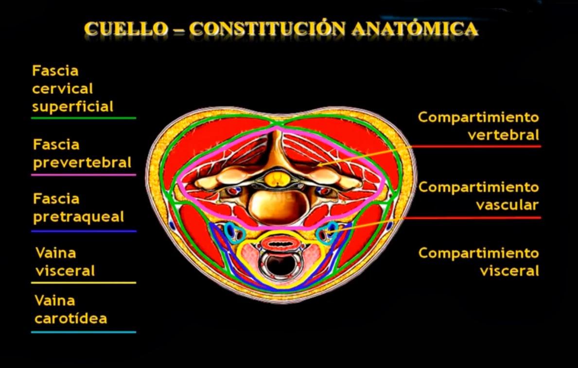 ANATOMIA DEL CUELLO | Morfologia Humana