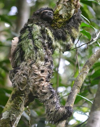 three toed sloth amazon iquitos peru