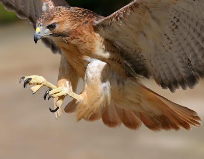 Aguila real lista para casar