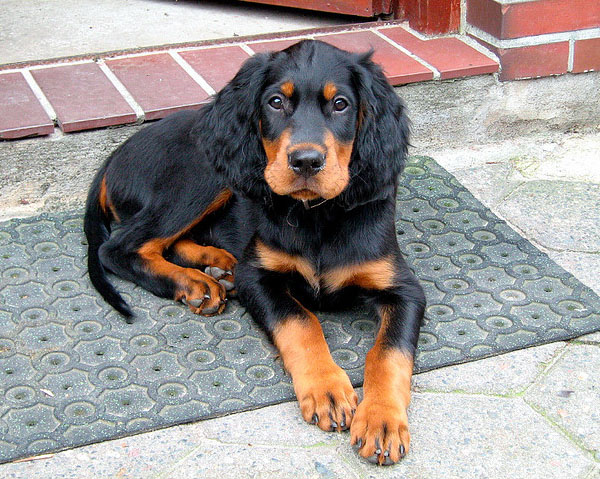 1000+ images about Gordon Setter on Pinterest | Portrait ...
