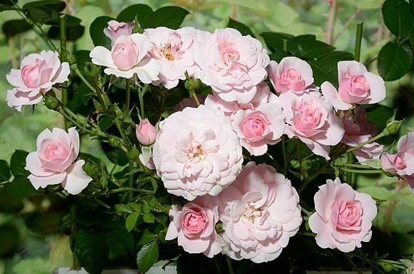 Bonica 82 rose сорт розы фото