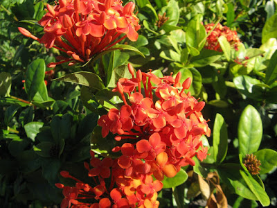 Red Ixora coccinea Jungle Flame blooms Turks Caicos by garden muses-not another Toronto gardening blog