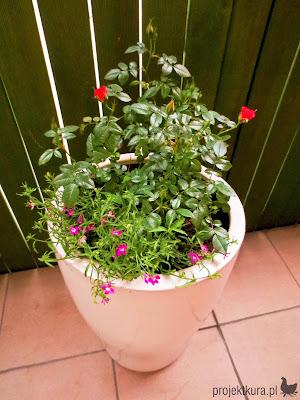 róża miniaturka na balkonie