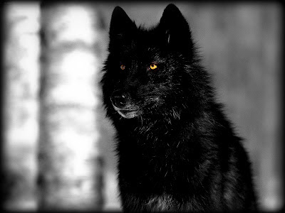 black wolf fresh hd desktop wallpapers 2013 beautiful