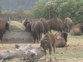 Bison at Alaska Wildlife Conservation Center