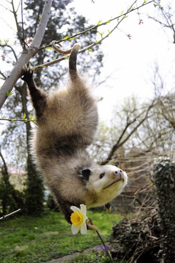 Funny animals of the week - 9 May 2014 (40 pics), cute animals, animal photos, possum hanging on a tree