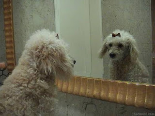poodle looking in to the mirror