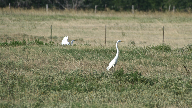 Snowy Egrets and Barbed Wire