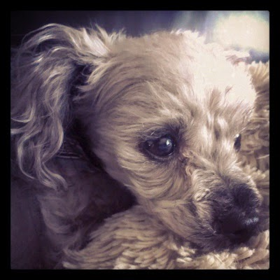 A square profile photo of Murchie, a short-haired grey poodle. He has his chin resting atop a fuzzy cream-coloured pillow and a distinctly annoyed tilt to his ears.