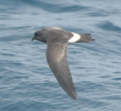 New Zealand Storm Petrel (Oceanites maorianus)