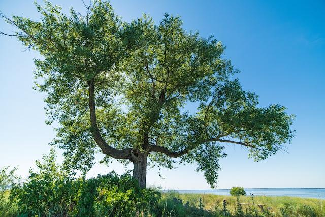 дерево тризуб трахтемирів
