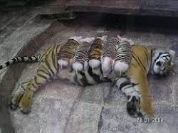 los tigres también pueden familiarizarse con otra especie animal