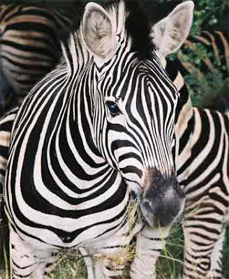pictures of zebra
