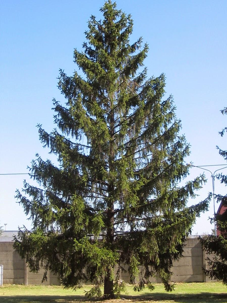 salutiamoci curarsi con l 39 abete e con il pino curing On abete albero