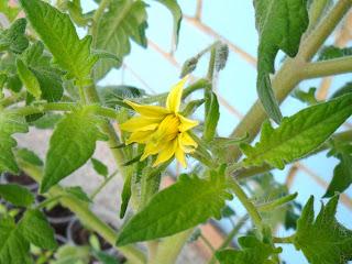 30 апреля, цветок помидора
