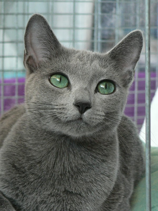 Russian Blue Cat History
