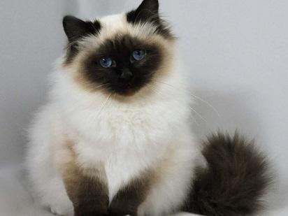 Harga Kucing Himalaya Di Jajaran Internasional