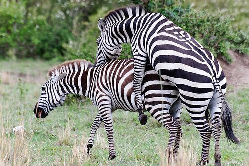 zebras mating | My HD Animals